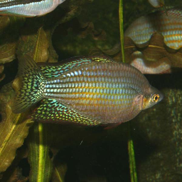 Remu (Chequered Rainbowfish)